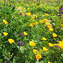 Wildflowers Bloom on the Irvine Ranch Natural Landmarks